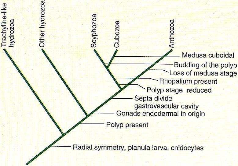 水螅结构图名称