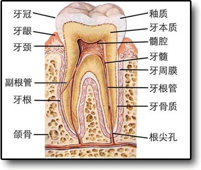 牙齿周围的组织简称牙周组织有三种:牙龈,牙槽骨和牙周膜.