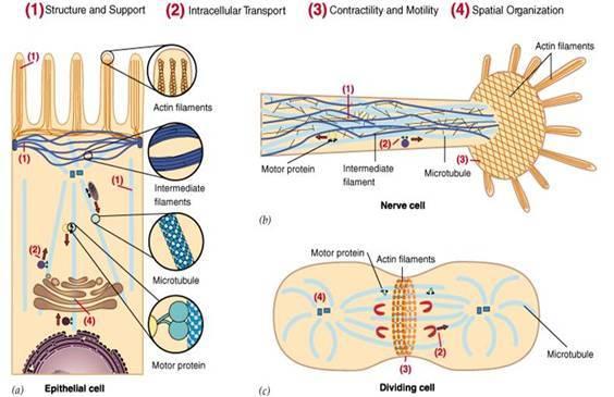 各种细胞结构画图