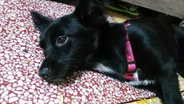 别人说它是金毛和中华田园犬的,可我不觉得是颜色:黑白   母   六个月