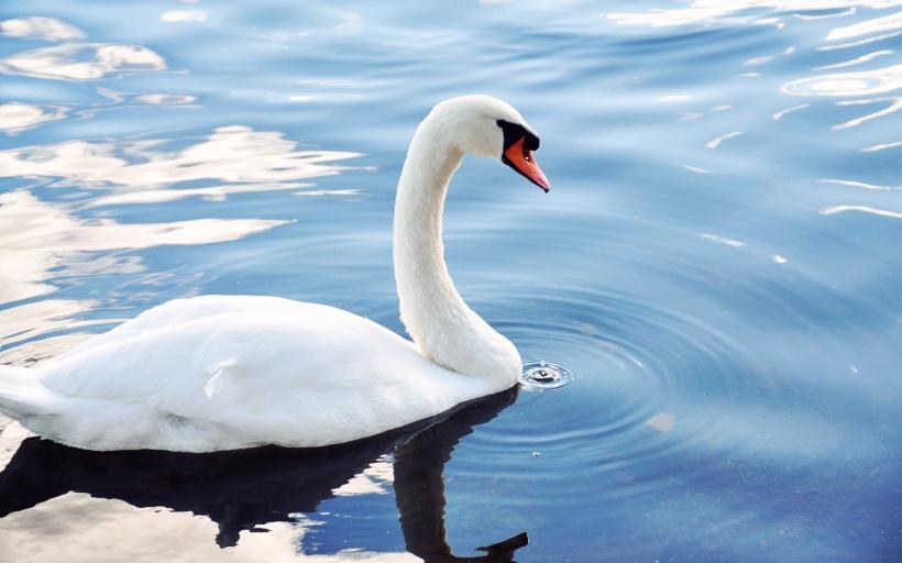 梦到白天鹅在水里游