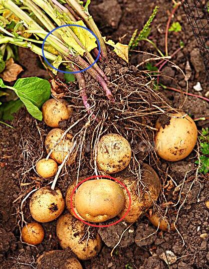 马铃薯块茎内部结构图