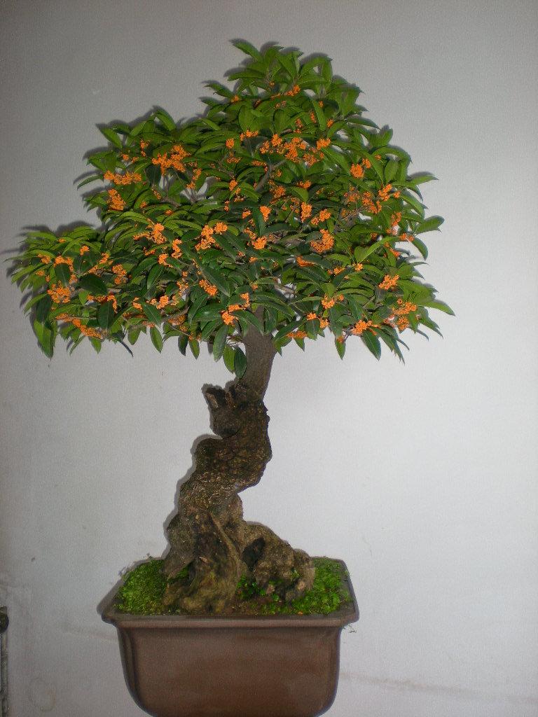 桂花树种植技术网