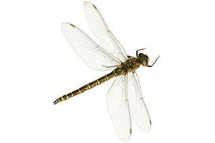 侧面蜻蜓手绘图